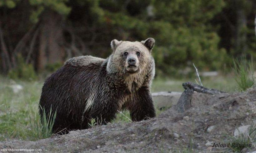 Ursoaică blocată într-un gard, eliberată de jandarmi după o acţiune care a durat şapte ore