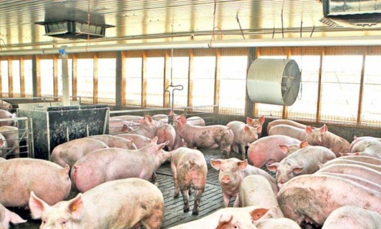 40.000 de porci, SACRIFICAŢI la Tulcea după depistarea focarului de pestă porcină africană
