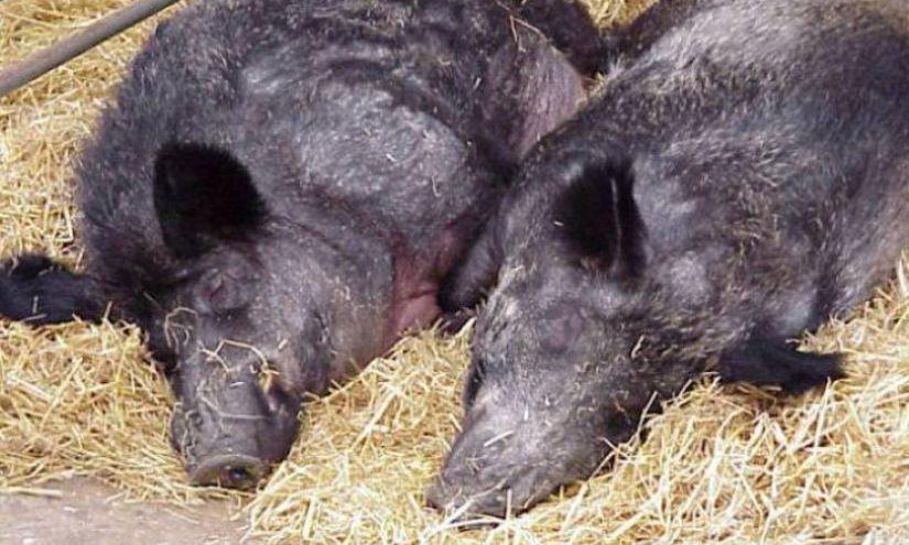 Focare de pestă porcină africană, confirmate în două localităţi din judeţul Buzău