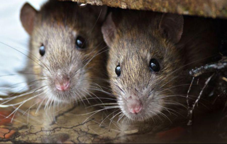 Prefectul Alin Stoica anunță că problema șobolanilor din Capitală nu va fi rezolvată prea curând